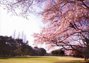 小山ゴルフクラブの桜